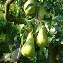 Pear Cordon Trees