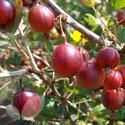 Gooseberry Collection Of 2 Bushes Saving £2.00