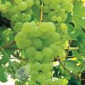 Green Table Grape