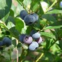 Blueberry Patriot