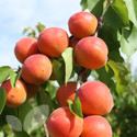 Apricot Tomcot®