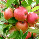 Apple - Eating