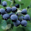 Blueberry Duke (AGM)