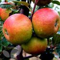 Apple 3 Tree Collection Saving £16.40