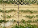 Apple 2 Tier Espalier (Eating)