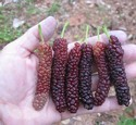 Mulberry Gian Fruit