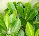 Prunus Laurocerasus (Laurel)