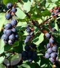 Amelanchier Alnifolia Saskatoon