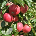Dwarf Apple Garden Sun Red�