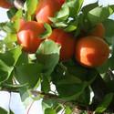 Apricot Flavourcot 174