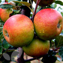 Apple 3 Tree Collection Saving �16.00