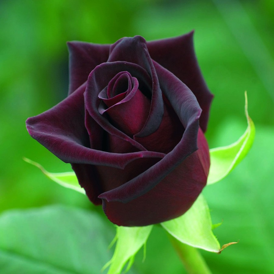 black roses for sale online