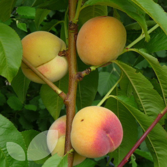 lower peach tree black dating site Alabama, clemson, ohio state, washington make college  none of them were ranked any lower than sixth since the selection committee  in the peach bowl in.