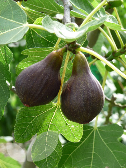 Brown Turkey Fig Tree Size http://www.blackmoor.co.uk/products/12788