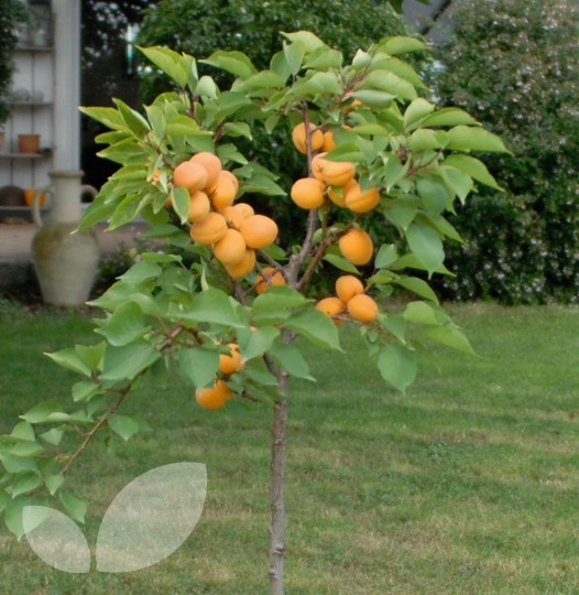 Dwarf Aprigold Fruit Trees For Sale Blackmoor Fruit Nursery