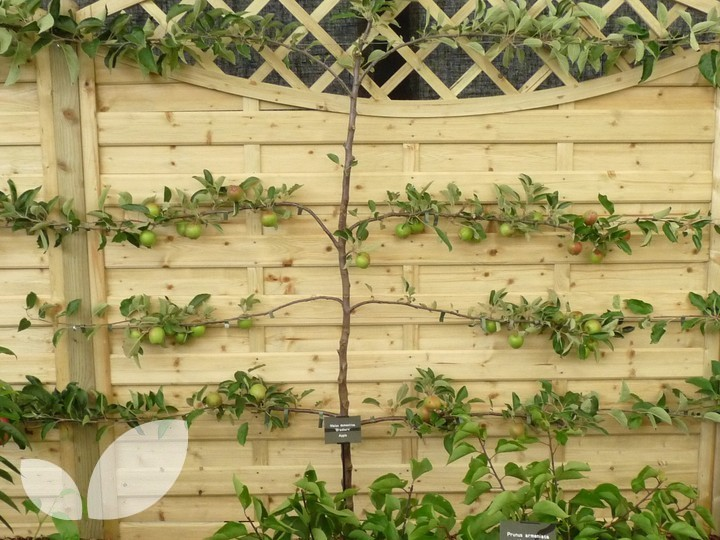 3 tier espalier fruit trees for sale for Fruit trees for sale