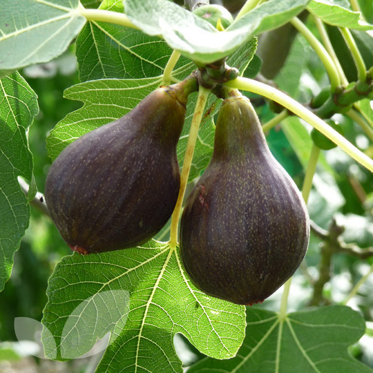 Fig gift fruit trees for sale for Fruit trees for sale