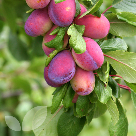 Half price fruit tree for sale for Fruit trees for sale