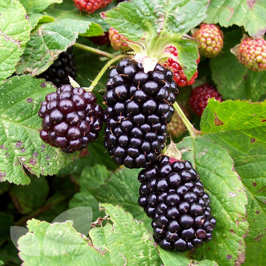 Plant BlackBerry Bushes