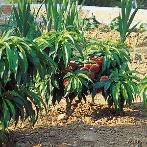 Dwarf Peach Bonanza. Patio Dwarf Fruits. Temp. Click To Enlarge