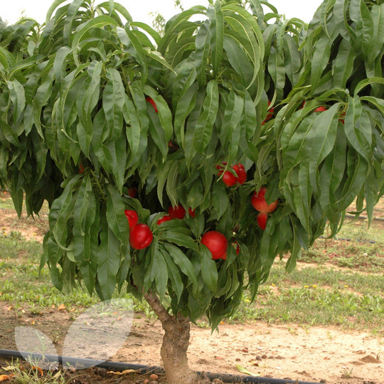 lower peach tree black personals Hey i am just wondering if anyone has been tree planting before and what they thought of the experience for the past 3 years i have planted many contracts and have found it to be a very rewarding.