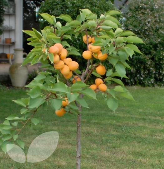 Dwarf aprigold fruit trees for sale for Fruit trees for sale