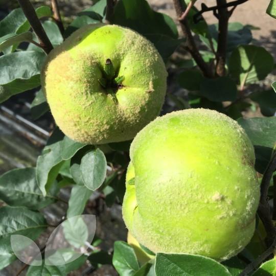 Dwarf quince leskovacz fruit trees for sale patio fruits for Fruit trees for sale