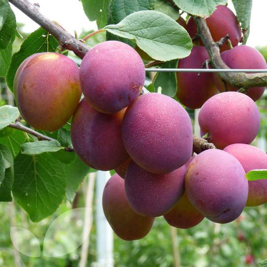 plum jubilee fruit trees for sale. Black Bedroom Furniture Sets. Home Design Ideas