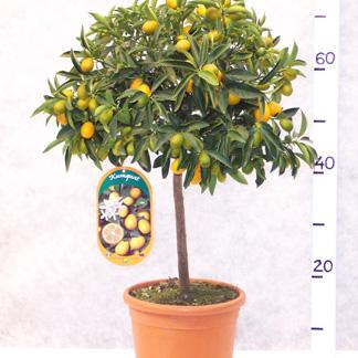Citrus kumquat fruit trees for sale for Plante kumquat
