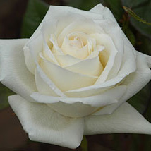 Rose Iceberg Floribunda Bare Root Roses Mail Order