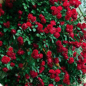 Rose Paul S Scarlet Bare Root Roses Mail Order