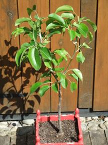 Asian Pear Nashi Nijisseiki Fruit Trees For Sale