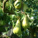 Pear Cordon Trees (Cordon Fruit Trees)