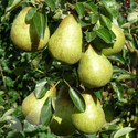 Williams' Bon Chrétien (AGM) (Pear Fruit Trees)