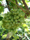 Bianca (Grape Vines)