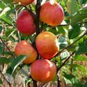 Sunset (AGM) (Apple Trees - Eating)