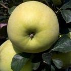 Rev.W.Wilks (AGM) (Apple Trees Cooking)