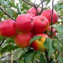 Falstaff (AGM) (Apples Self Fertile)