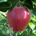 Kidd's Orange Red (AGM) (Apple Trees - Eating)