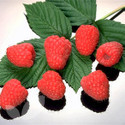 Polka (Autumn Fruiting) (Raspberry Canes)
