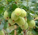 Gooseberry Collection Of 3 Bushes Saving £2.70