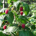 Autumn Bliss (Autumn Fruiting) (Raspberry Canes)