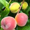 Avalon Pride (Peach Fruit Trees)