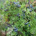 Prunus Spinosa (Blackthorn)