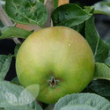 Blenheim Orange (AGM) (Apple Trees - Eating)