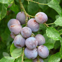 Damson Fruit Trees