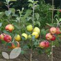 Family Fruit Trees