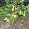 Family Pear Tree (Pear Fruit Trees)