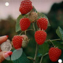 Glen Ample (Summer Fruiting) (Raspberry Canes)