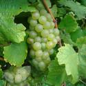 Chardonnay (Grape Vines)